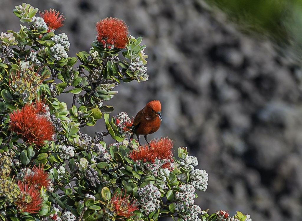 The Apapane (himatione Sanguinea, Is A Small, Crimson, Species Of Hawaiian Honeycreeper Endemic To The Hawaiian Islands. They Are The Most Abundant And Widely Distributed Honeycreeper And Are Found On The Islands Of Hawaiʻi, Maui, Lānaʻi, Kauaʻi, Molo