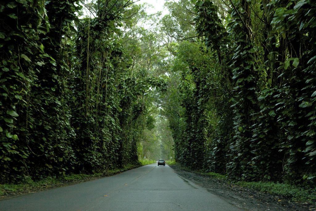 maluhia tree tunnel kauai
