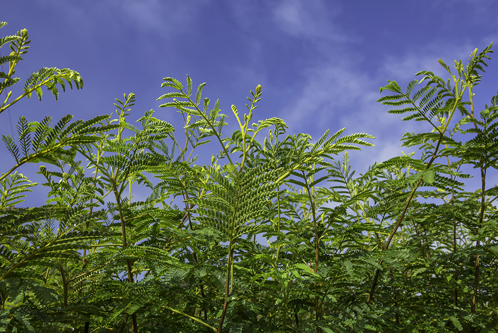 koa trees