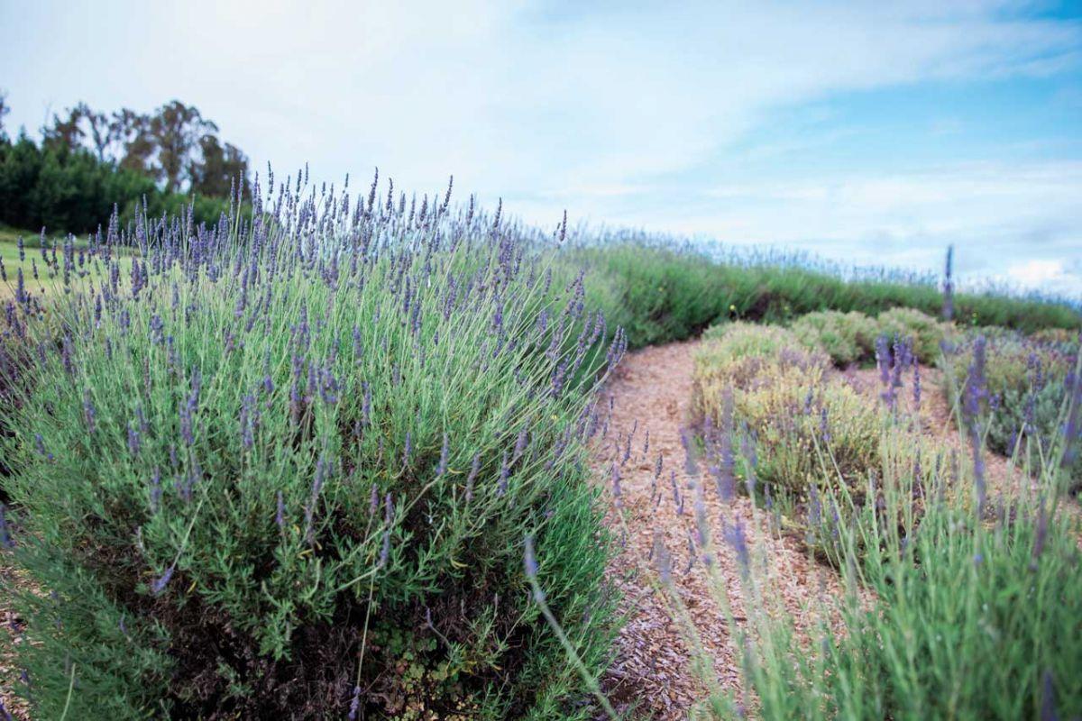 kula lavendar
