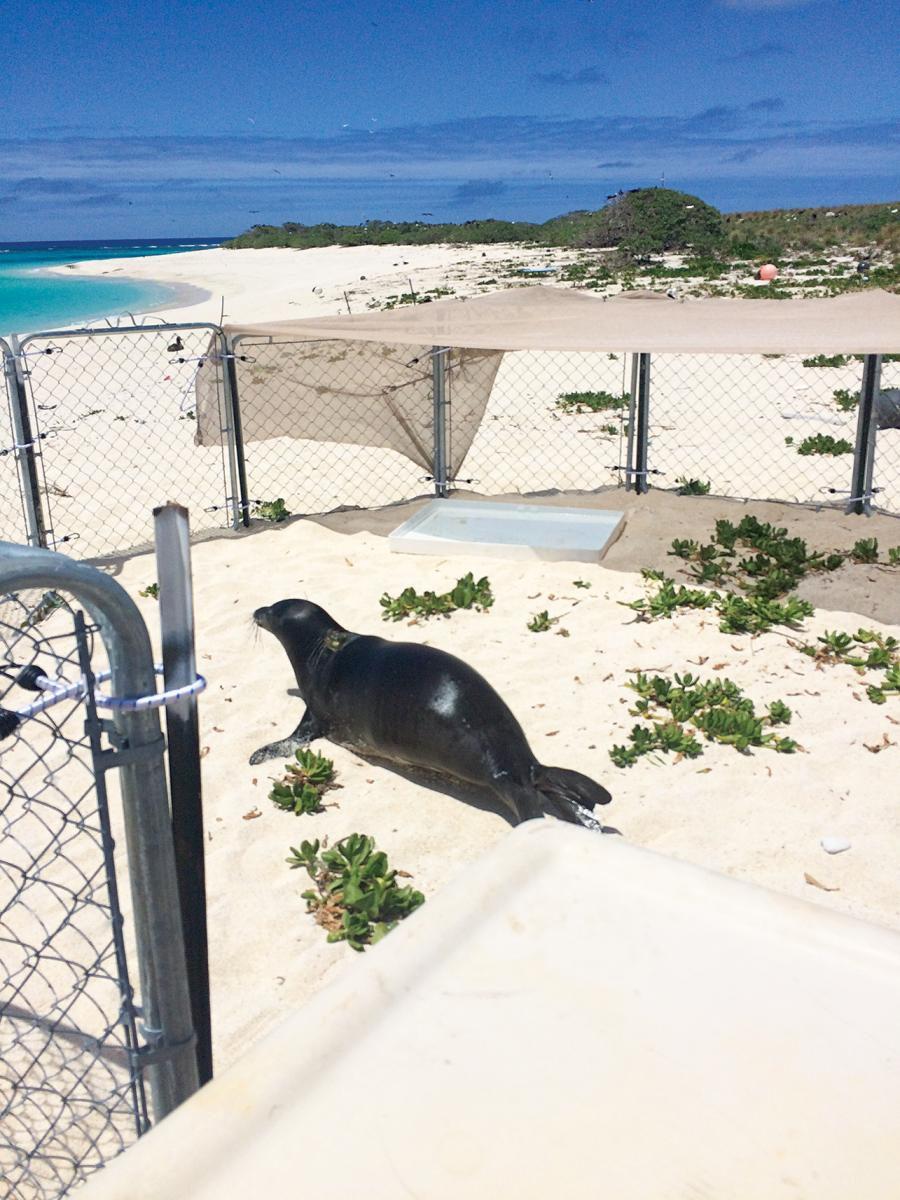 hawaiian monk seal rescue