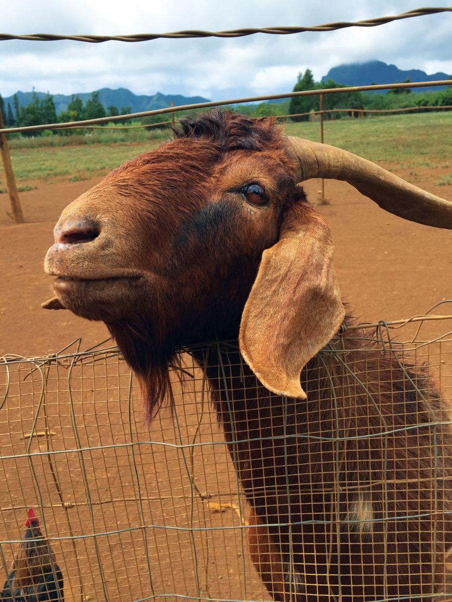 goat kauai plantation