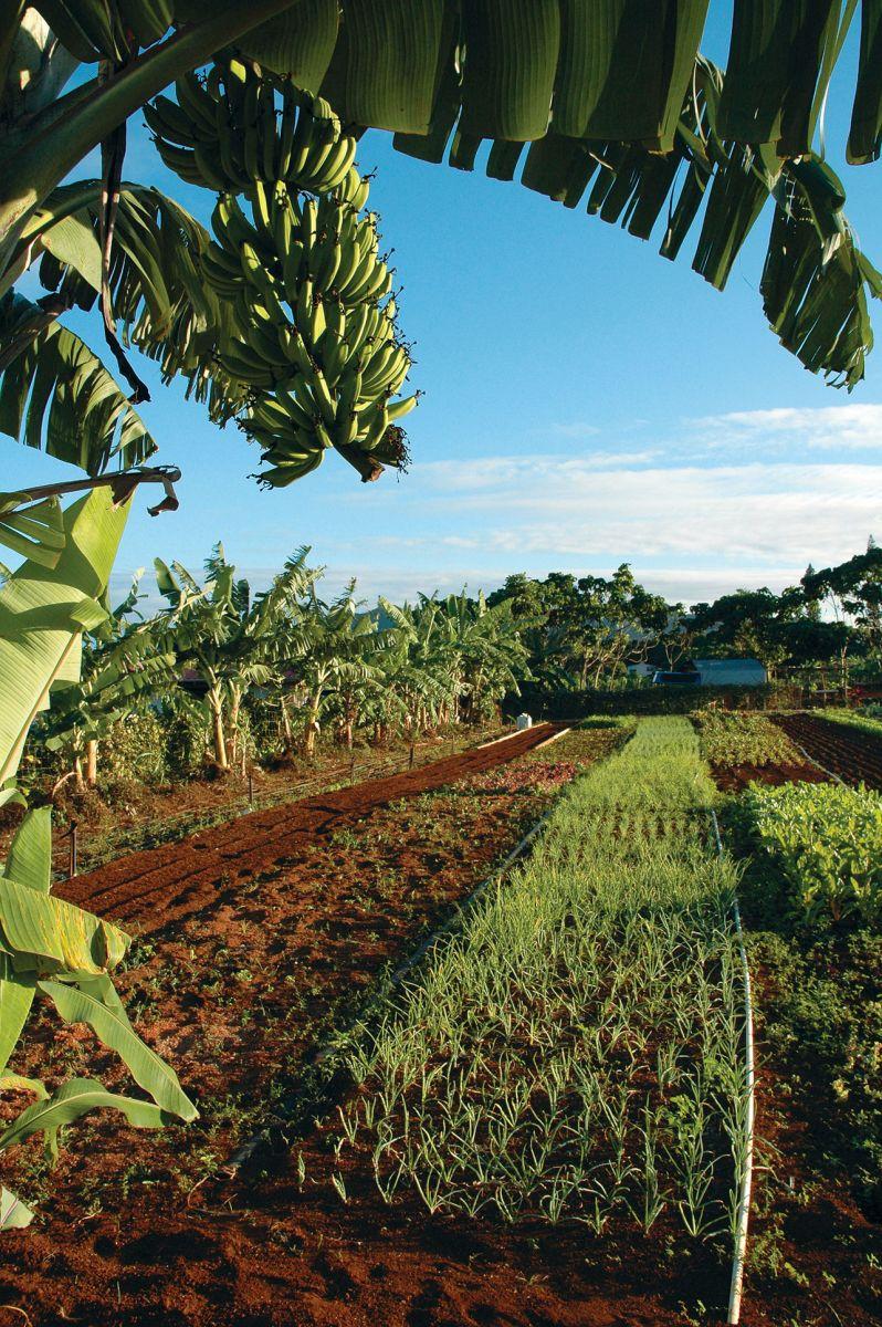 fruit trees kauai plantation railroad