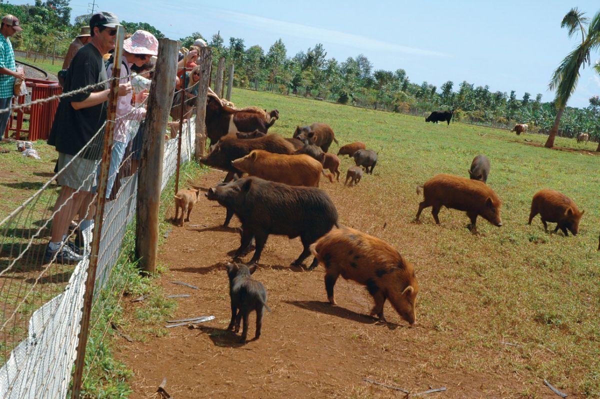 pigs kauai train