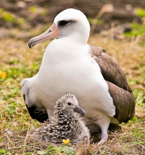 laysan_albatross_moli_kauai_oahu_new_colony