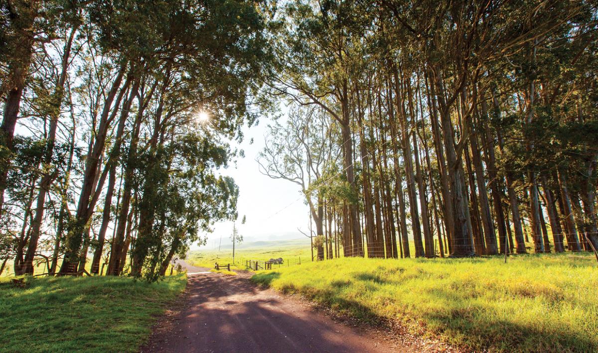 eucalyptus mana road hawaii