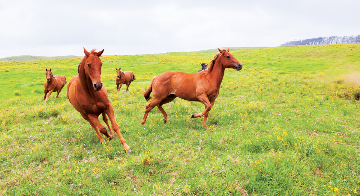 horses mana road mauna kea