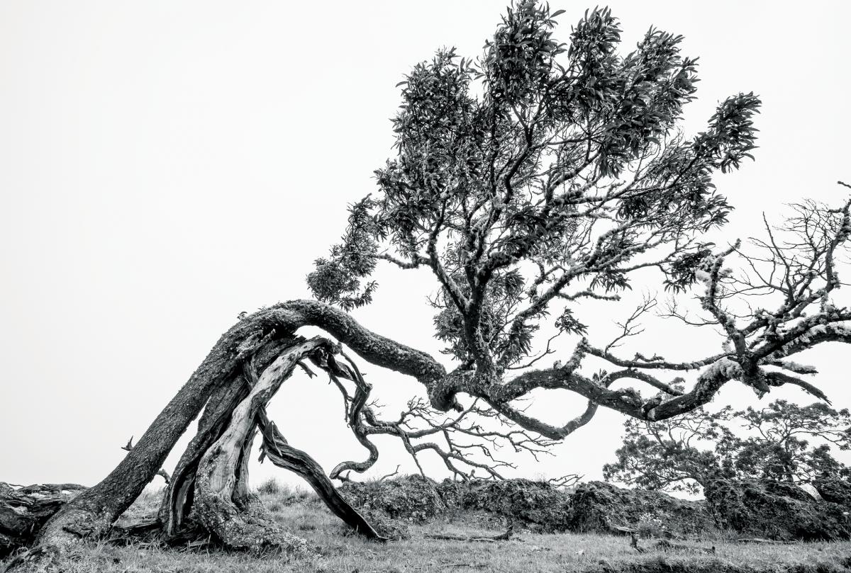 koa tree mana road