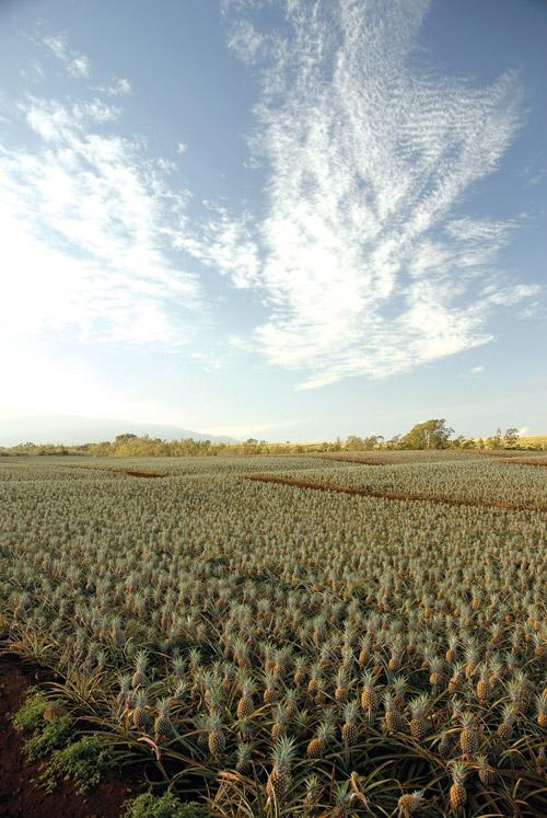 fields_of_gold_maui_pineapple_company
