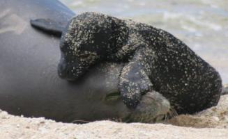 Hawaiian_monk_seal_state_mammal