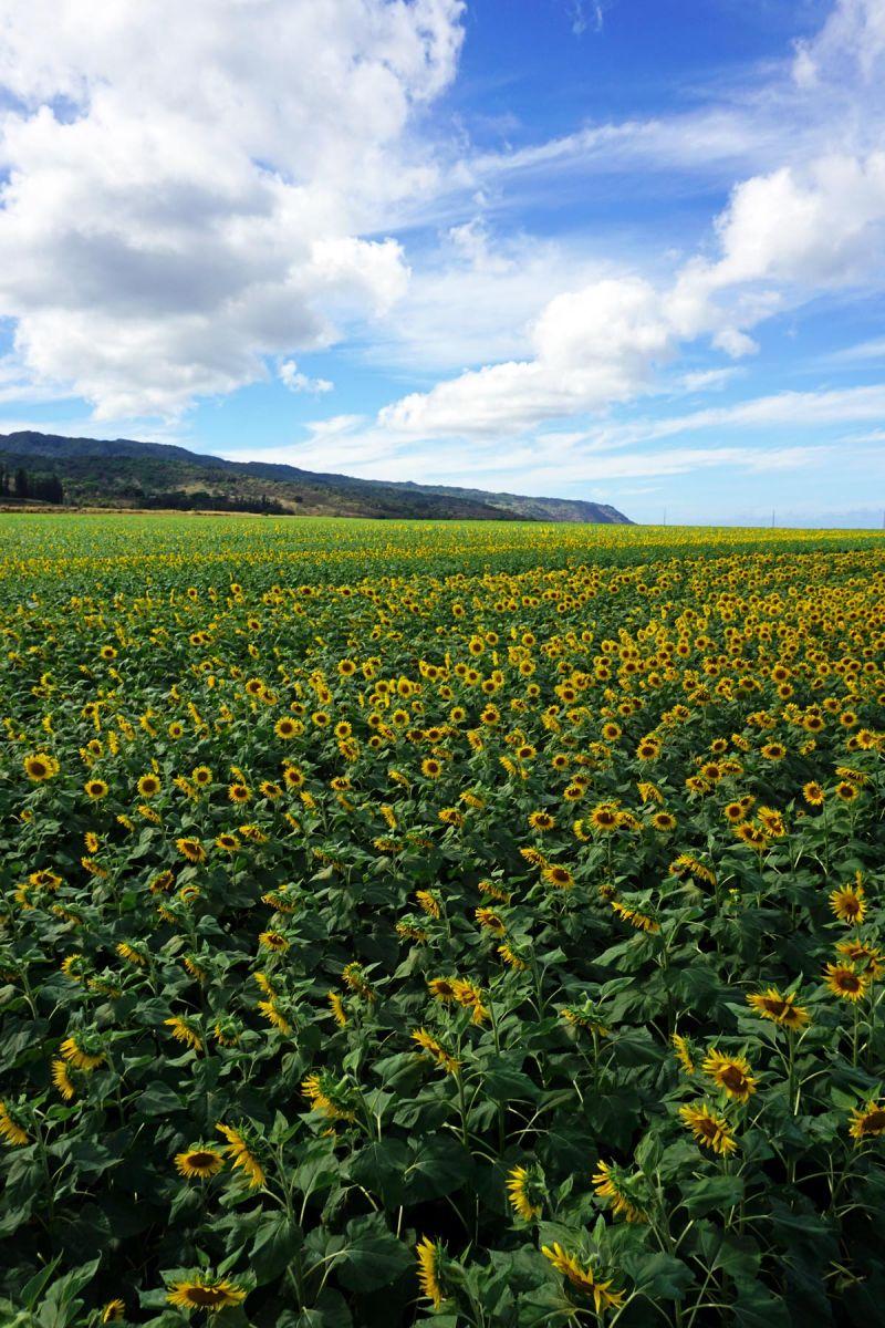 waialua sunflower fields
