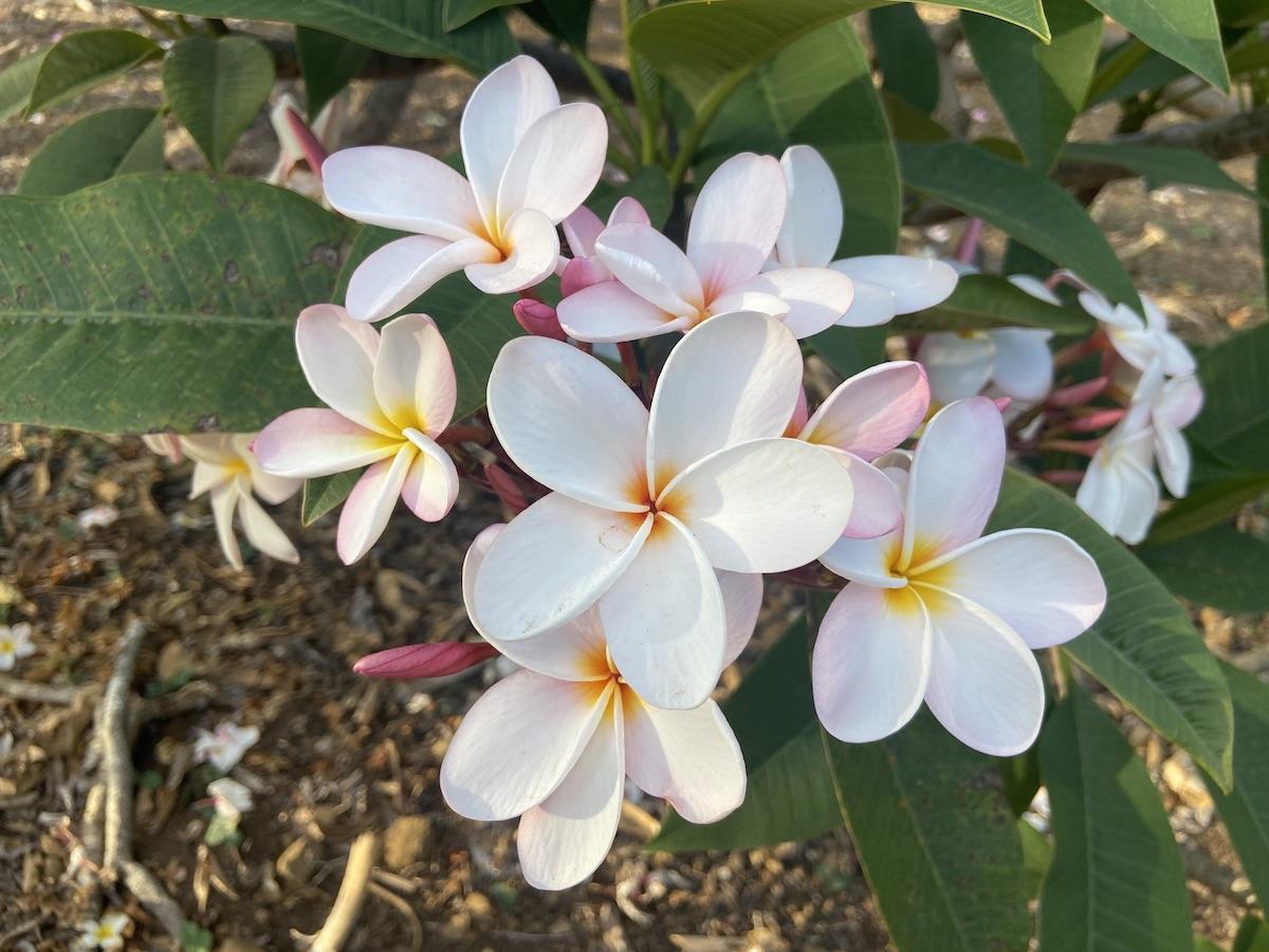 "PLUMERIA /""HAWAIIAN WHITE/"" Fragrant Flower Frangipani plant"