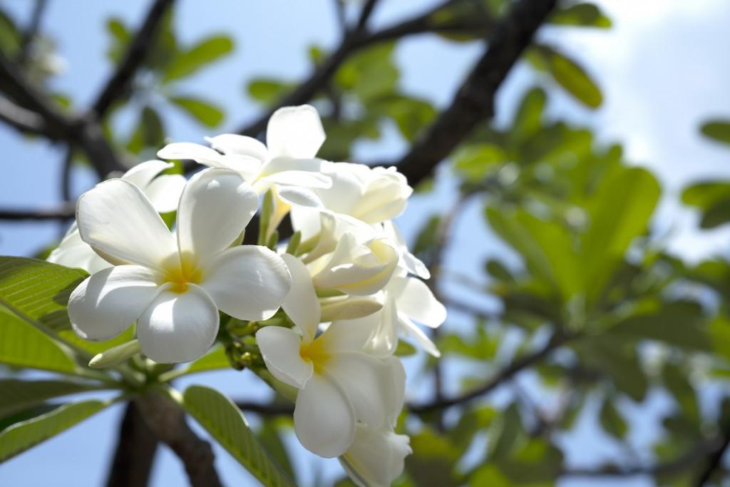 White Flower Name Frangipani Or Plumeria Or Temple Tree Or Graveyard Tree For Background
