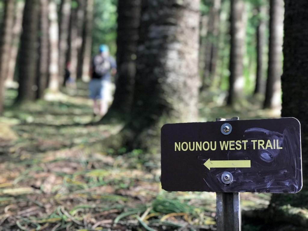 Man Hikes Nounou (sleeping Giant) West Trail, Through Giant Norfolk Pine, Kauai, Hawaii