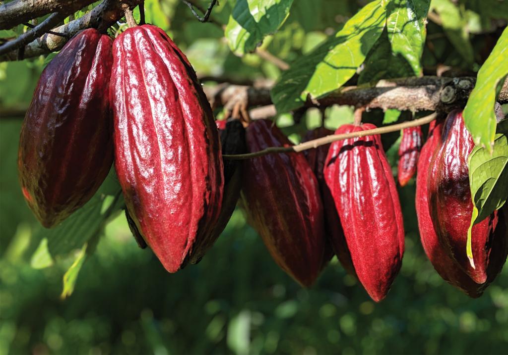 Lavaloha cacao pods