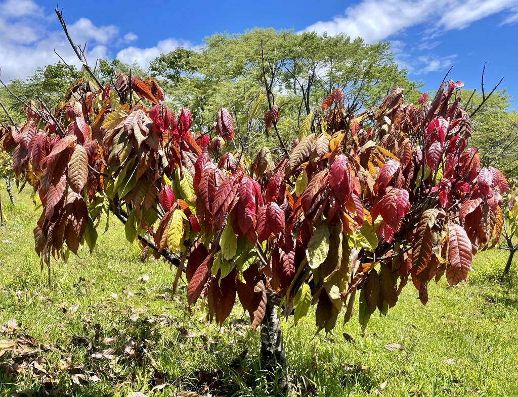 Lavaloha Red Leaf Cacao Tree