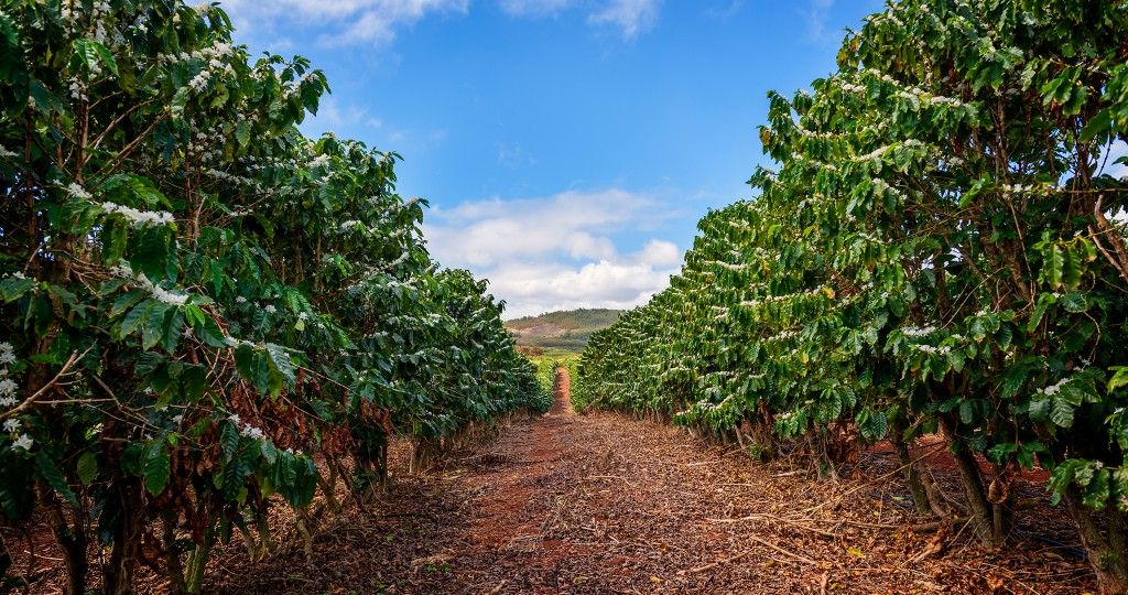 Kauai Coffee farm