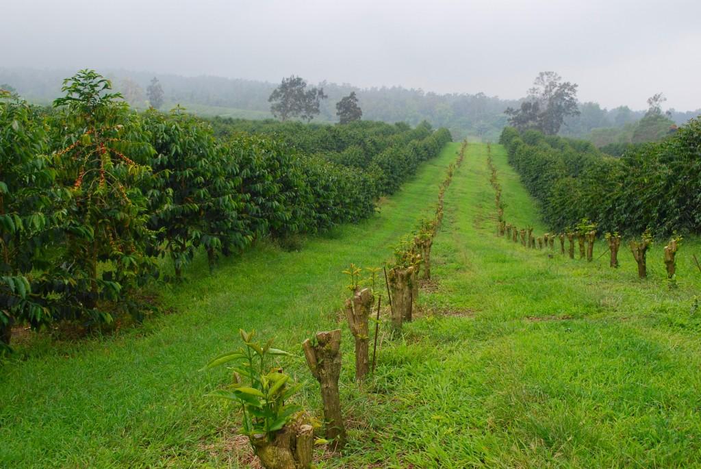 King Kona Coffee Fields