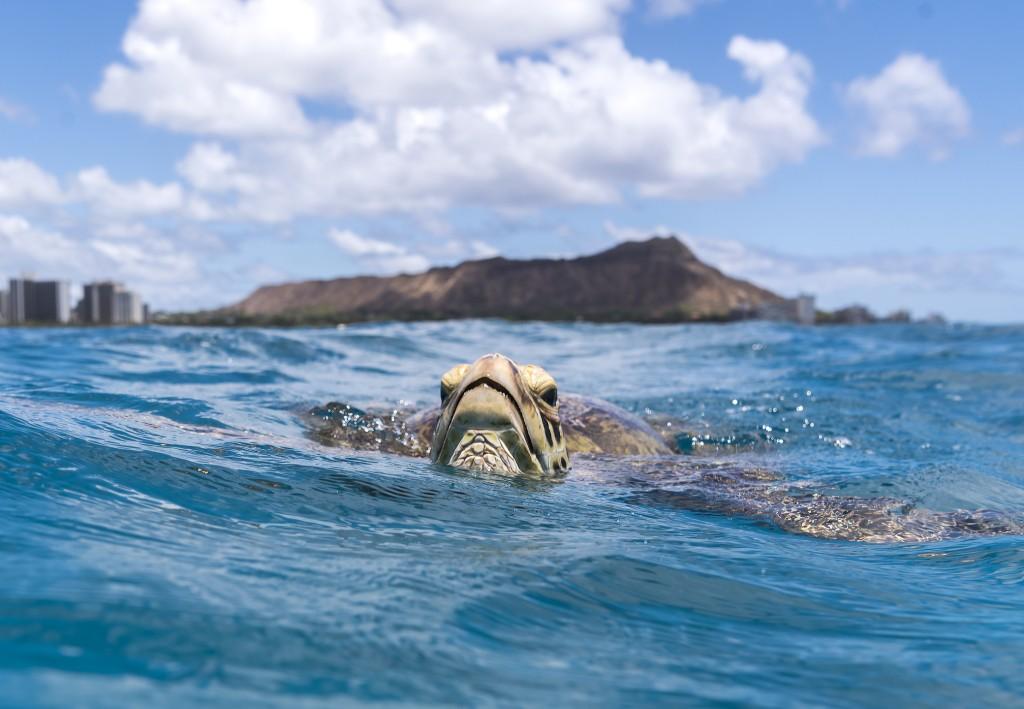 Turtle Of Waikiki